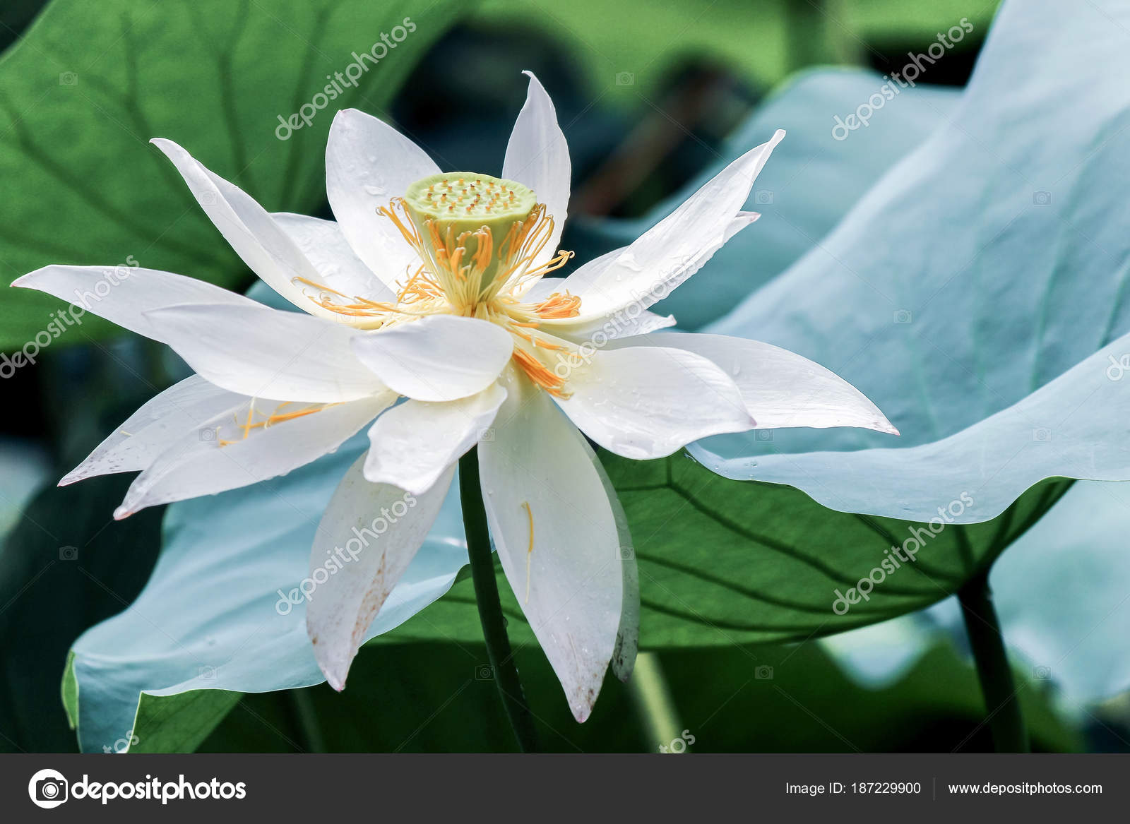 White Lotus Flower Green Leaves Stock Photo C Ccelia7280 187229900