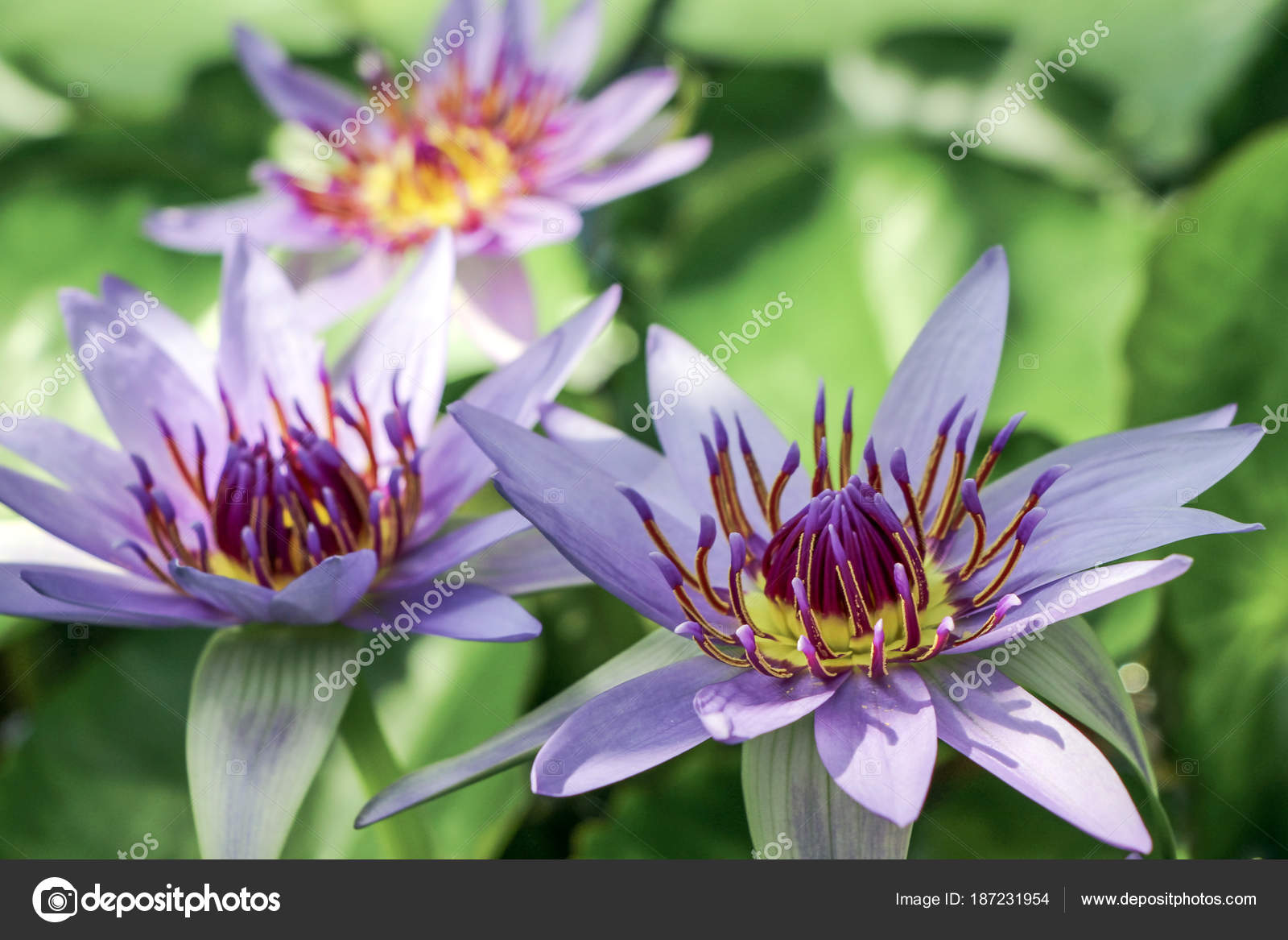 Water lily flower green leaves stock photo c728hotmail water lily flower with green leaves photo by c728hotmail izmirmasajfo