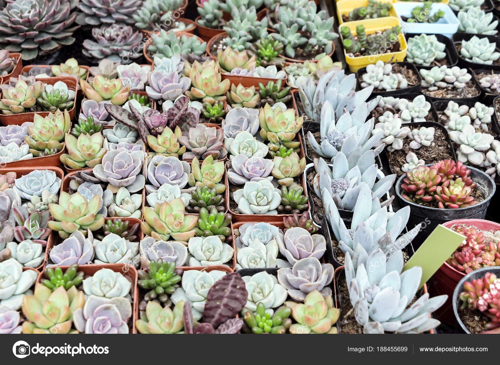Colorful Succulent Plants Pot Stock Photo C Ccelia7280 188455699