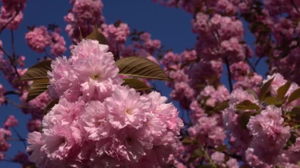 Cherry blossom season. Everlasting spring. Close-up of cherry blossoms flower viewing.