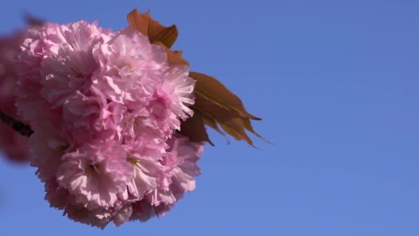 Detail brzy kvetoucí sakura. Japonsko cherry blossom plátky na modré obloze. Žádné mraky na pozadí