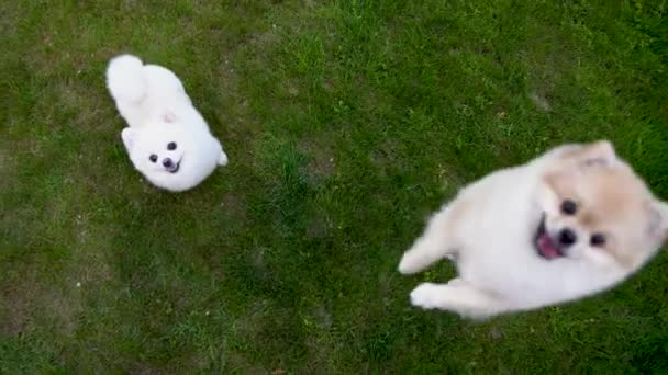 Two pomeranian spitz on the green grass. One dog is jumping upwards and barking.