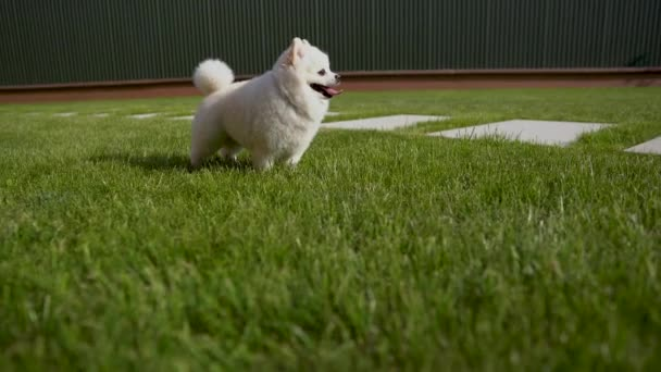 Close-up of one white pomeranian spitz with his tongue sticking out. Dog stands on the grass.