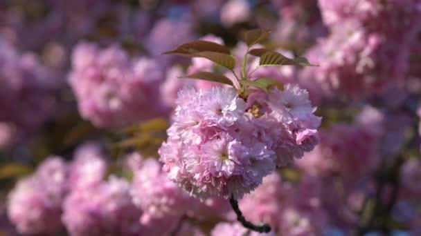 Japonsko třešňové větve s kvetoucími květinami. Rozmazané třešňový květ strom na pozadí