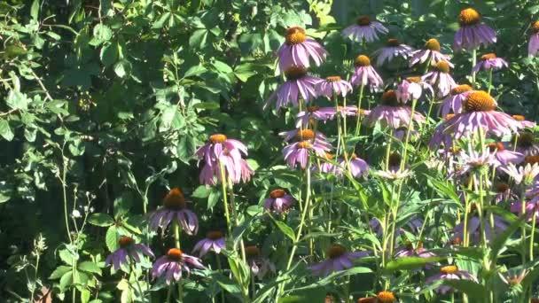 Kvetoucí květiny Echinacea