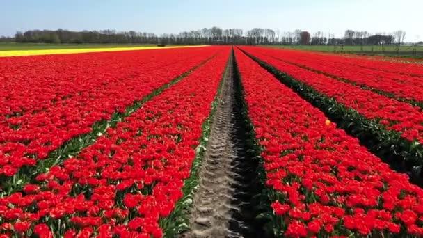 Vzduch z tulipánových polí na venkově z Nizozemska