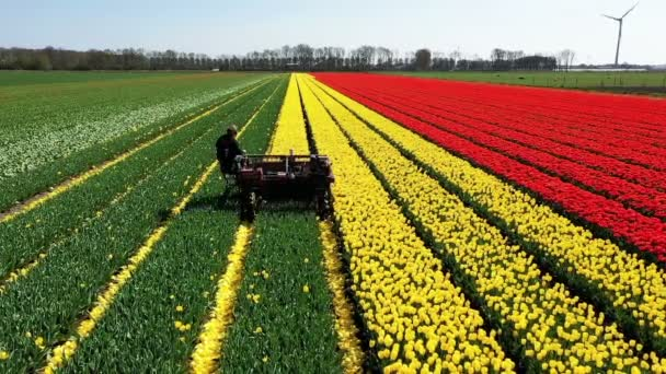 Aerial from topping tulips in the Netherlands