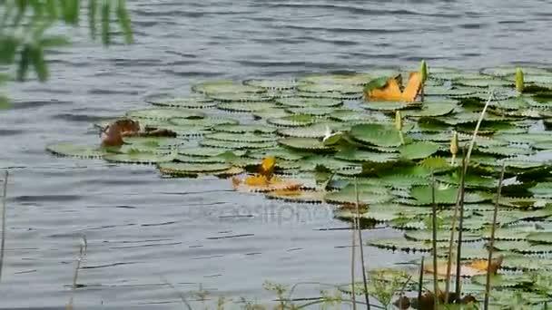 listy bergamotu thajské bylinky se používají pro koření a vaření