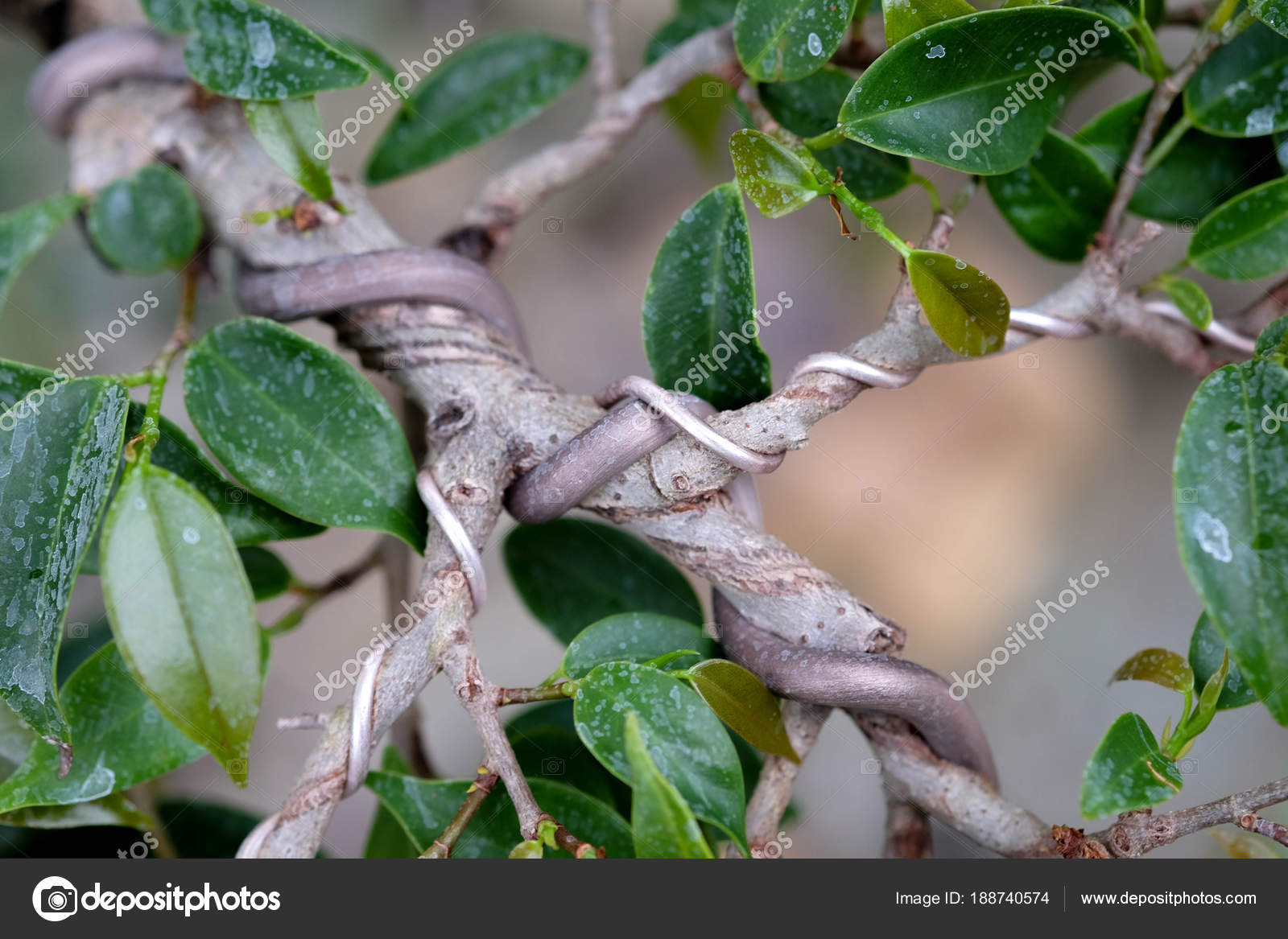 Bonsai Tree Wrapped Wire Stock Photo Nattapol 188740574 Ficus Wiring By