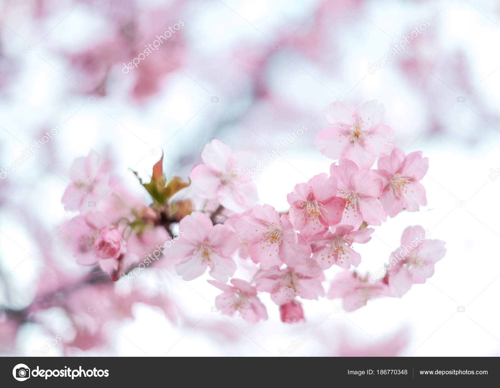8d730441f56 Pink Sakura Bloom — Stock Photo © hystericus hotmail.com  186770348