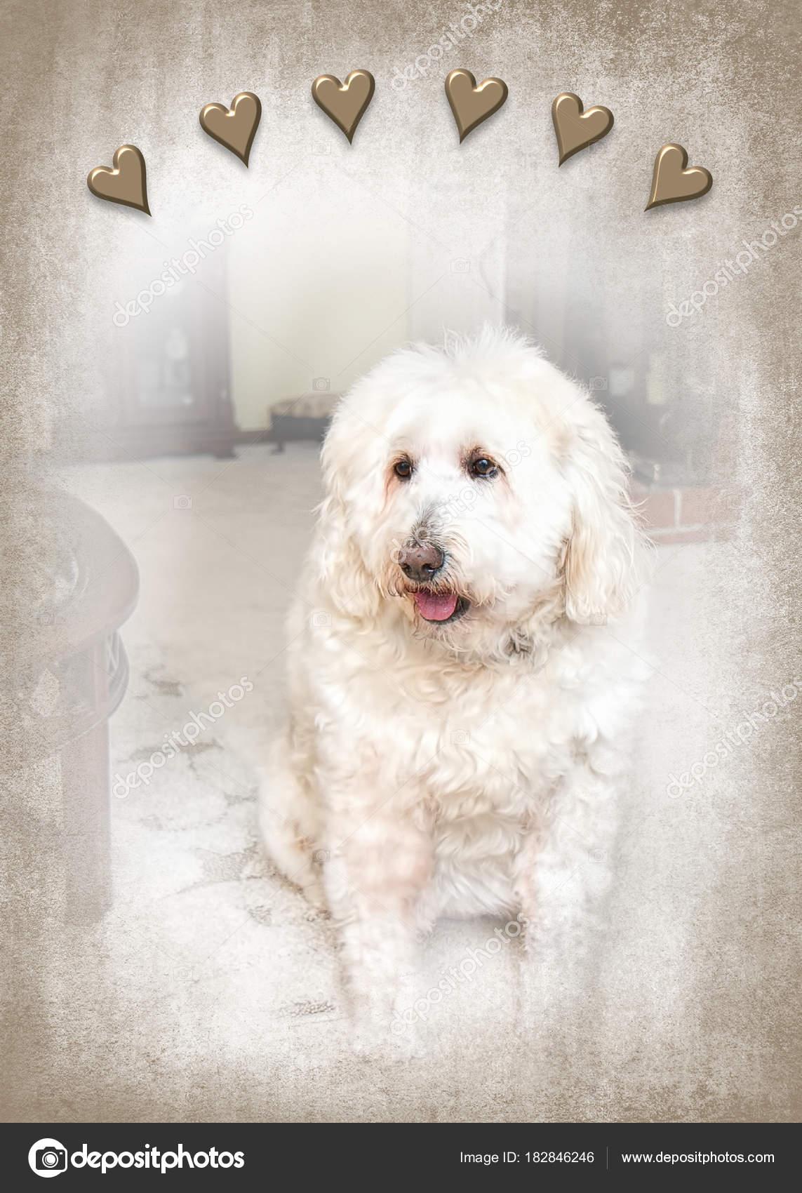 White Fluffy Golden Doodle Dog Sitting Living Room