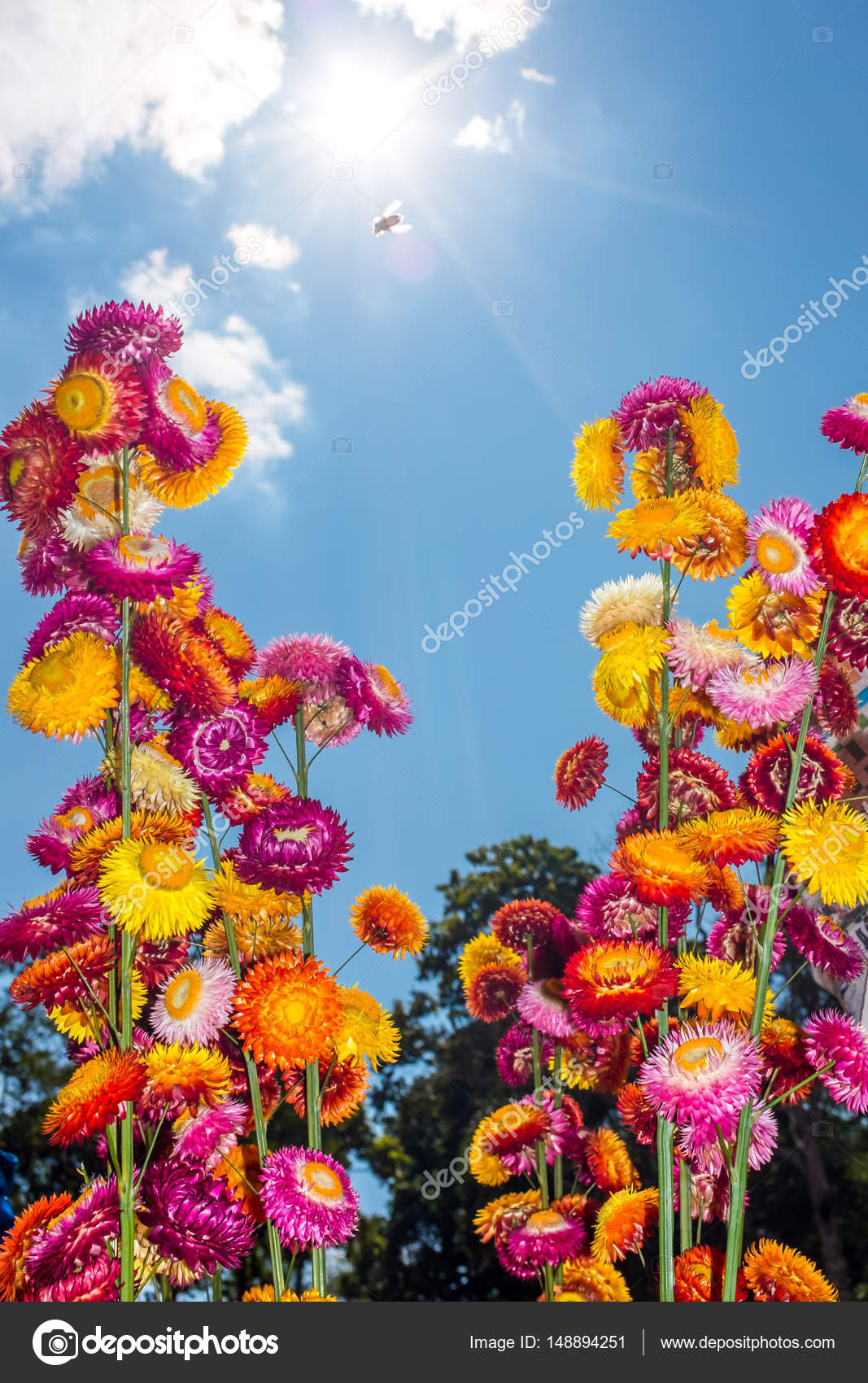 Beautiful bouquet of colorful dry straw flowers or everlasting with beautiful bouquet of colorful dry straw flowers or everlasting over blue sky with clouds and sunlight outdoor at the daytime on summer day izmirmasajfo