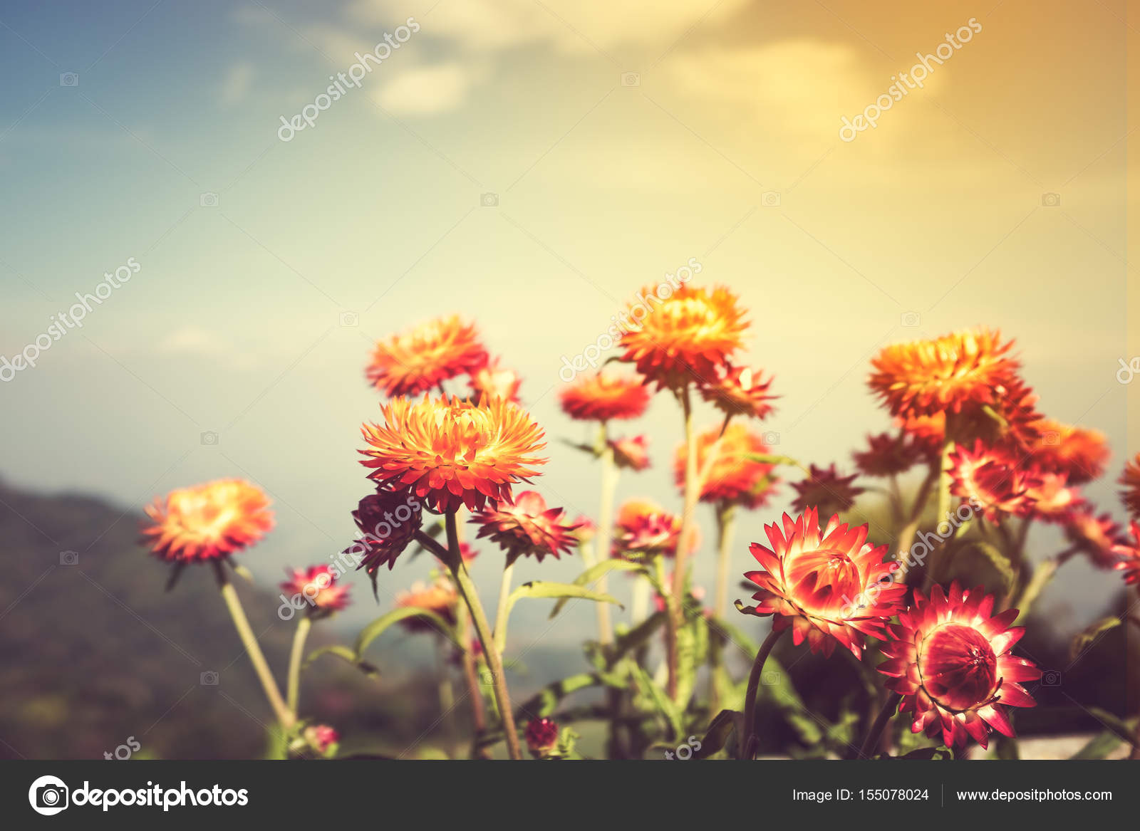 Beautiful bouquet of colorful dry straw flowers or everlasting with beautiful bouquet of colorful dry straw flowers or everlasting over blue sky with clouds outdoor at the daytime on summer day with sunlight izmirmasajfo