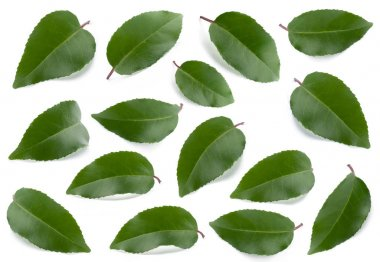 Green leaves collection isolated on a white background stock vector