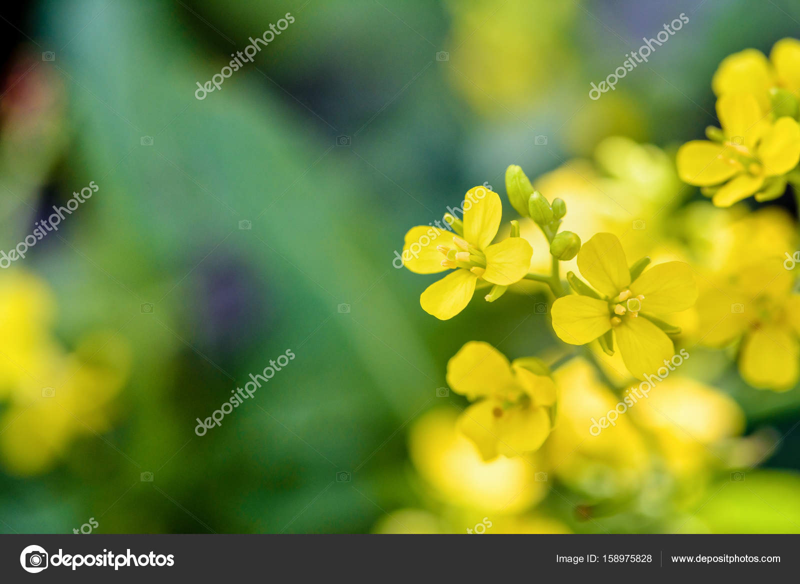 Yellow flower of wild mustard stock photo yongkiet 158975828 closeup beautiful small yellow flowers of sinapis arvensis wild mustard brassica or charlock on green blur background photo by yongkiet mightylinksfo