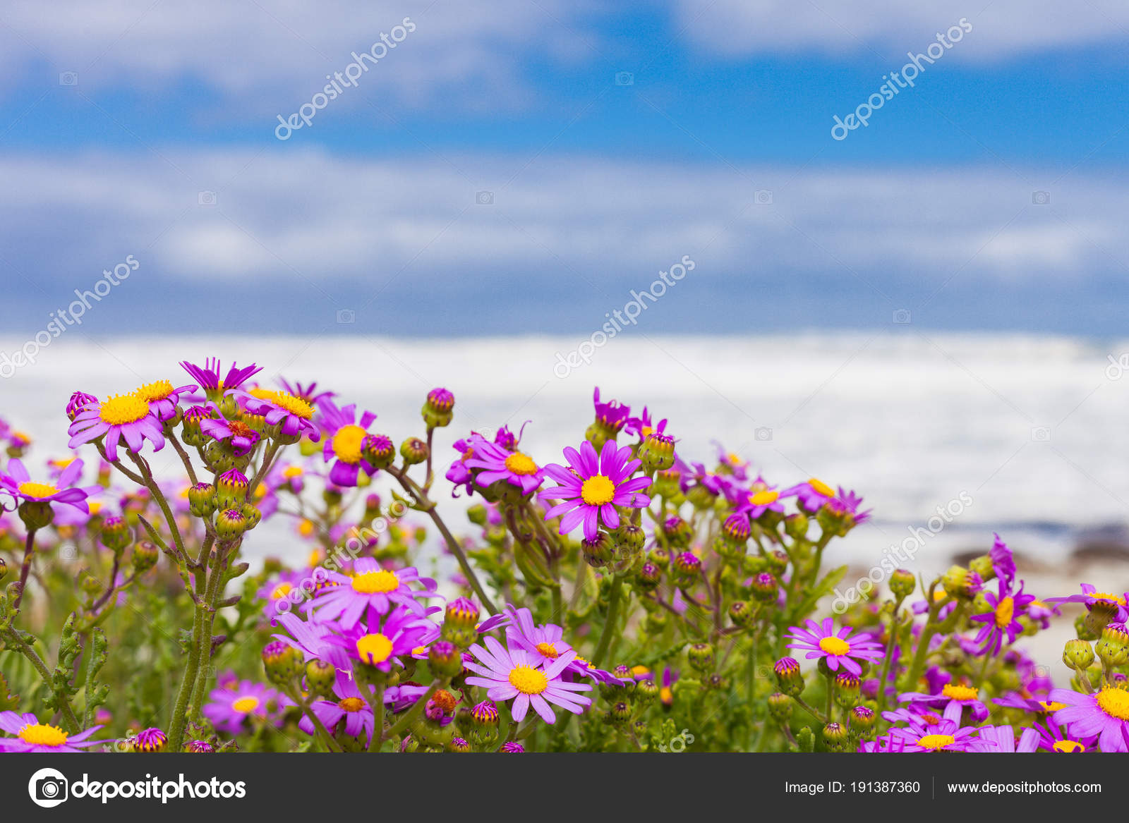 Pink coastal flowers beach cape town south africa stock photo pink coastal flowers beach cape town south africa stock photo mightylinksfo