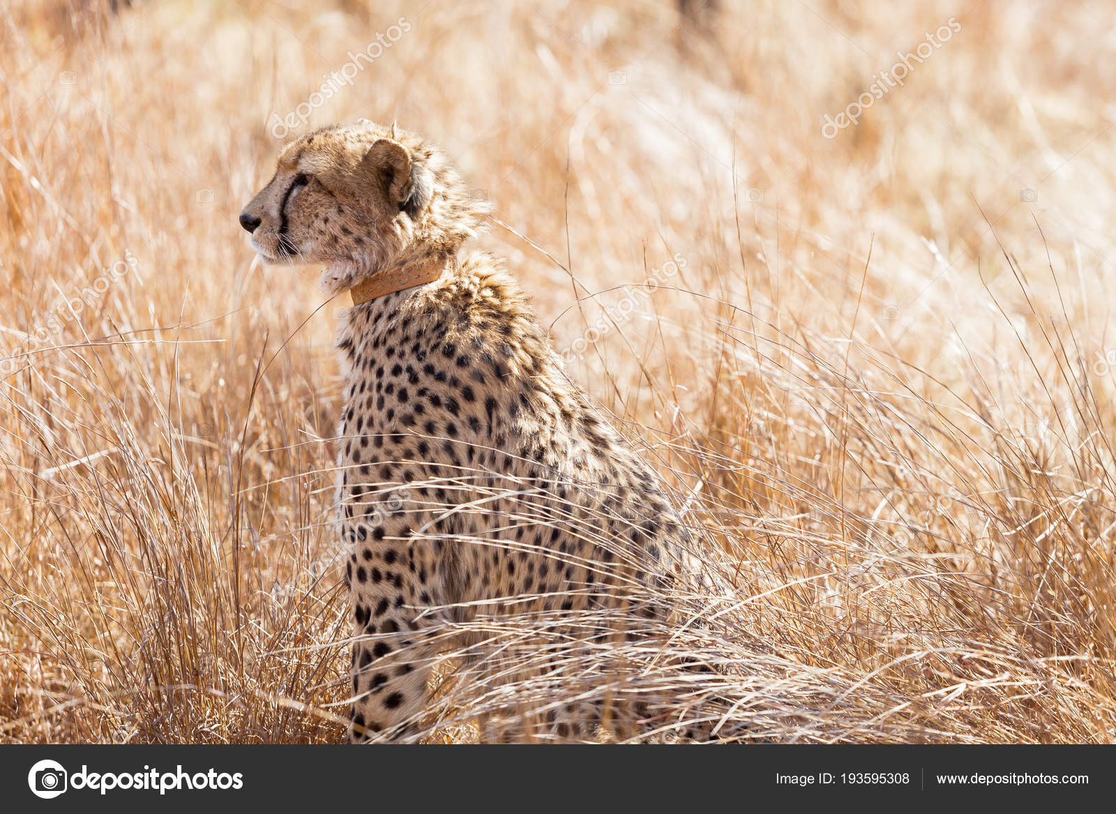 African Cheetah Sitting In Long Grass Stock Photo