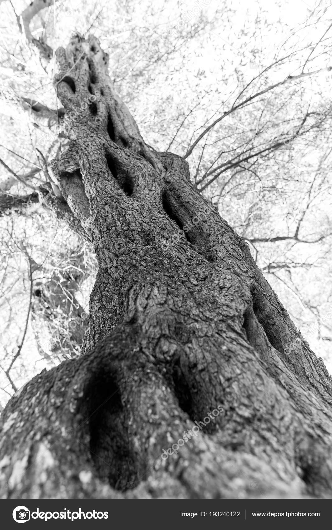 Alte griechische Olivenbaum Stamm in Korfu — Stockfoto