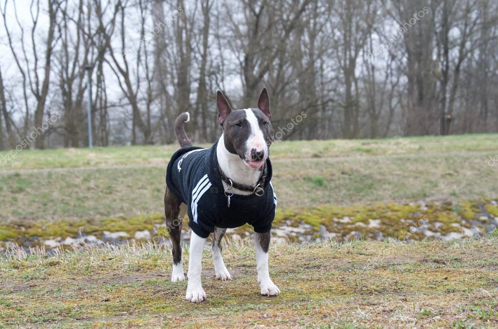 Miniature Bull Terrier - Portrait