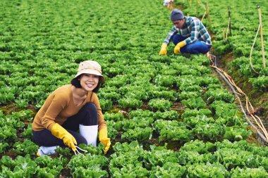 People working on lettuce field