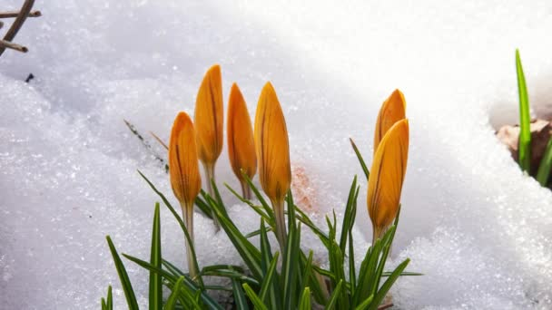 Orange Crocus flowers blooming in early spring, as the snow melts around them. The green leaves contrast against the cold snow, as the snow crystals slowly melt.