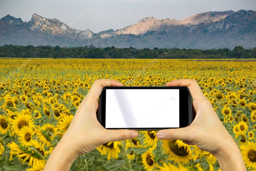 take photo by smartphone. Sunflower field.