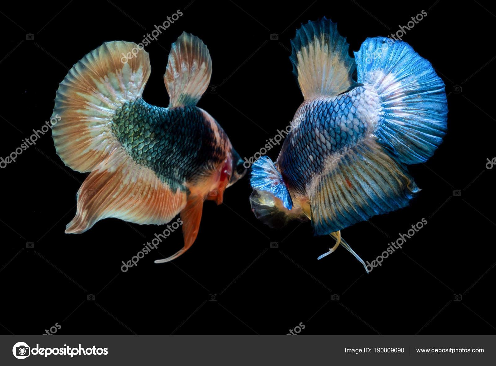 Betta Fish Fight In The Aquarium Stock Photo C Buakaew8899 190809090