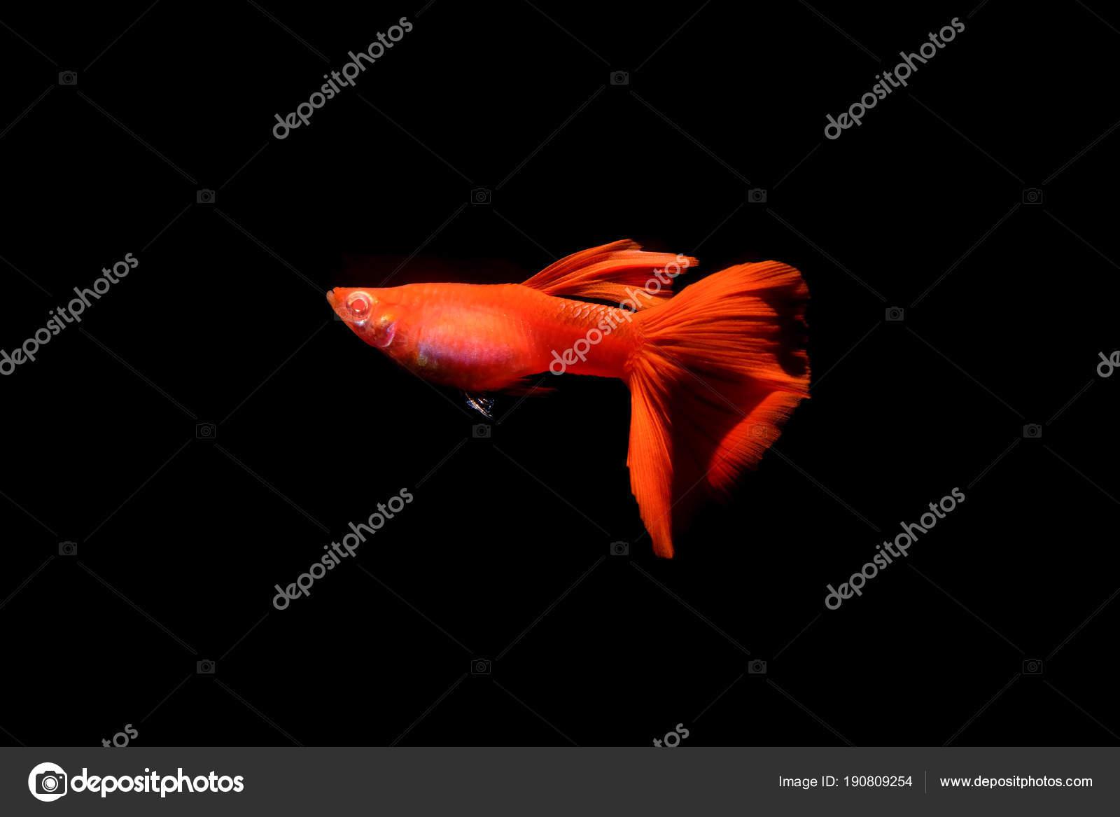 guppy fish in the aquarium — Stock Photo © BuaKaew8899 #190809254