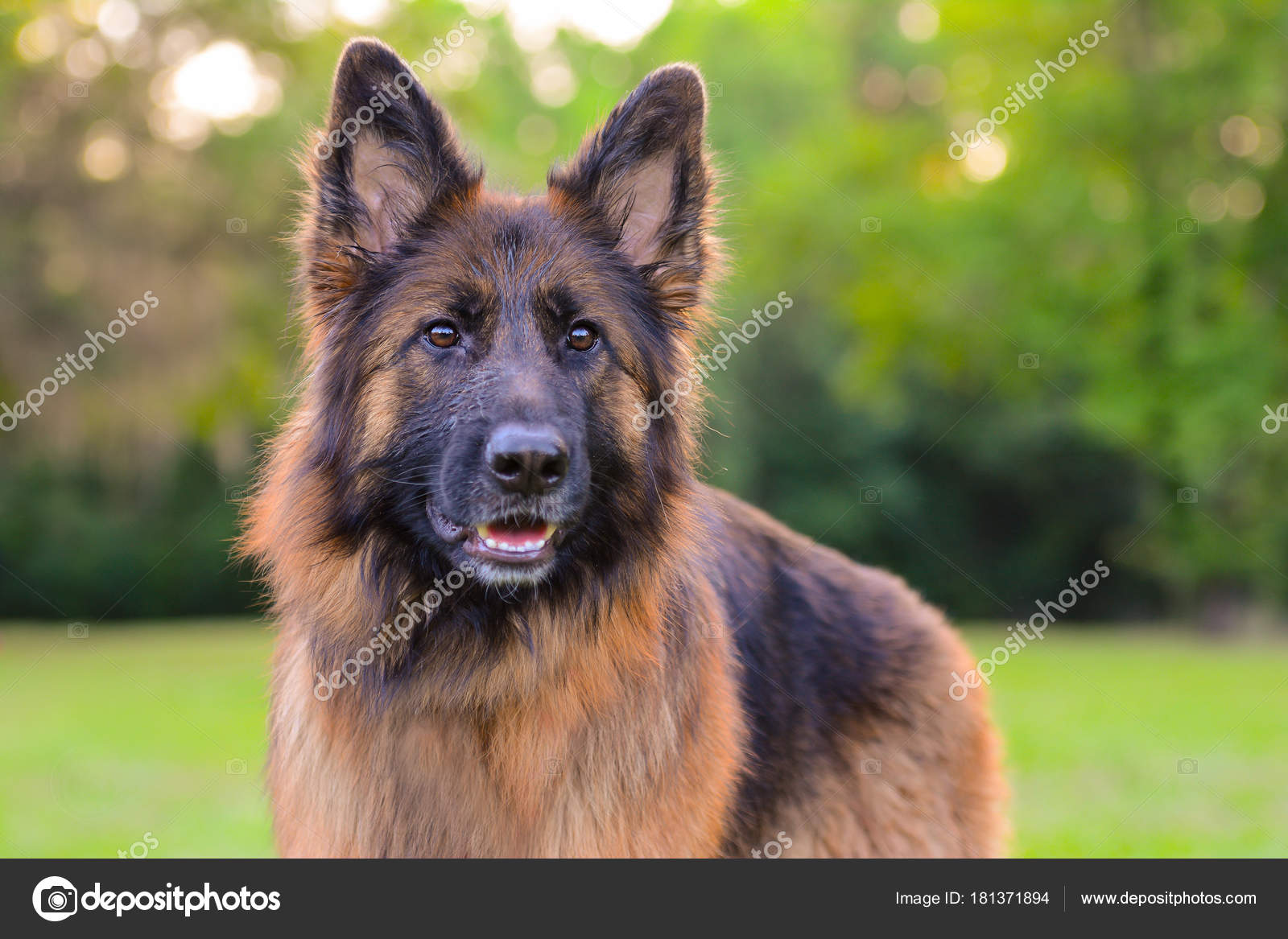 Long Haired Red Black German Shepherd Dog Outdoors Stock Photo