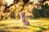 Golden retrívr pes těší venku na velkém travnatém poli při západu slunce, krásné zlaté světlo
