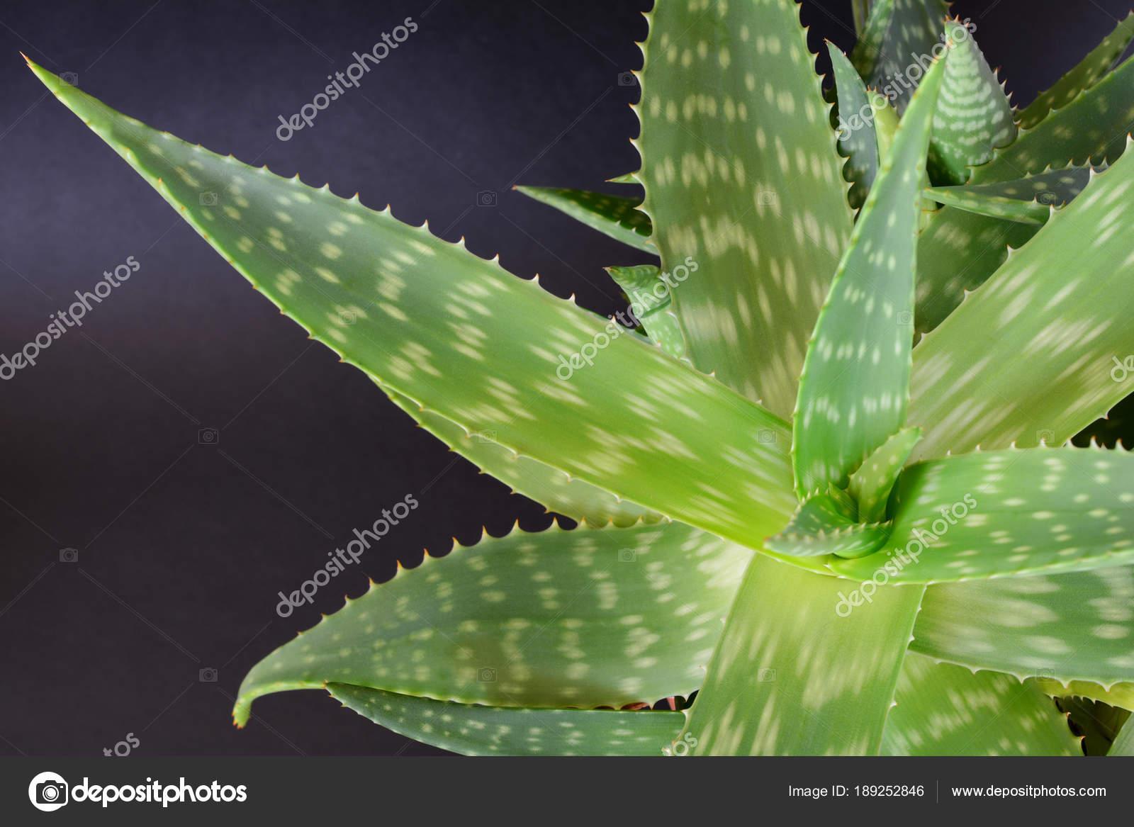 Aloe Vera Plant Stock Photo C Charmoment 189252846