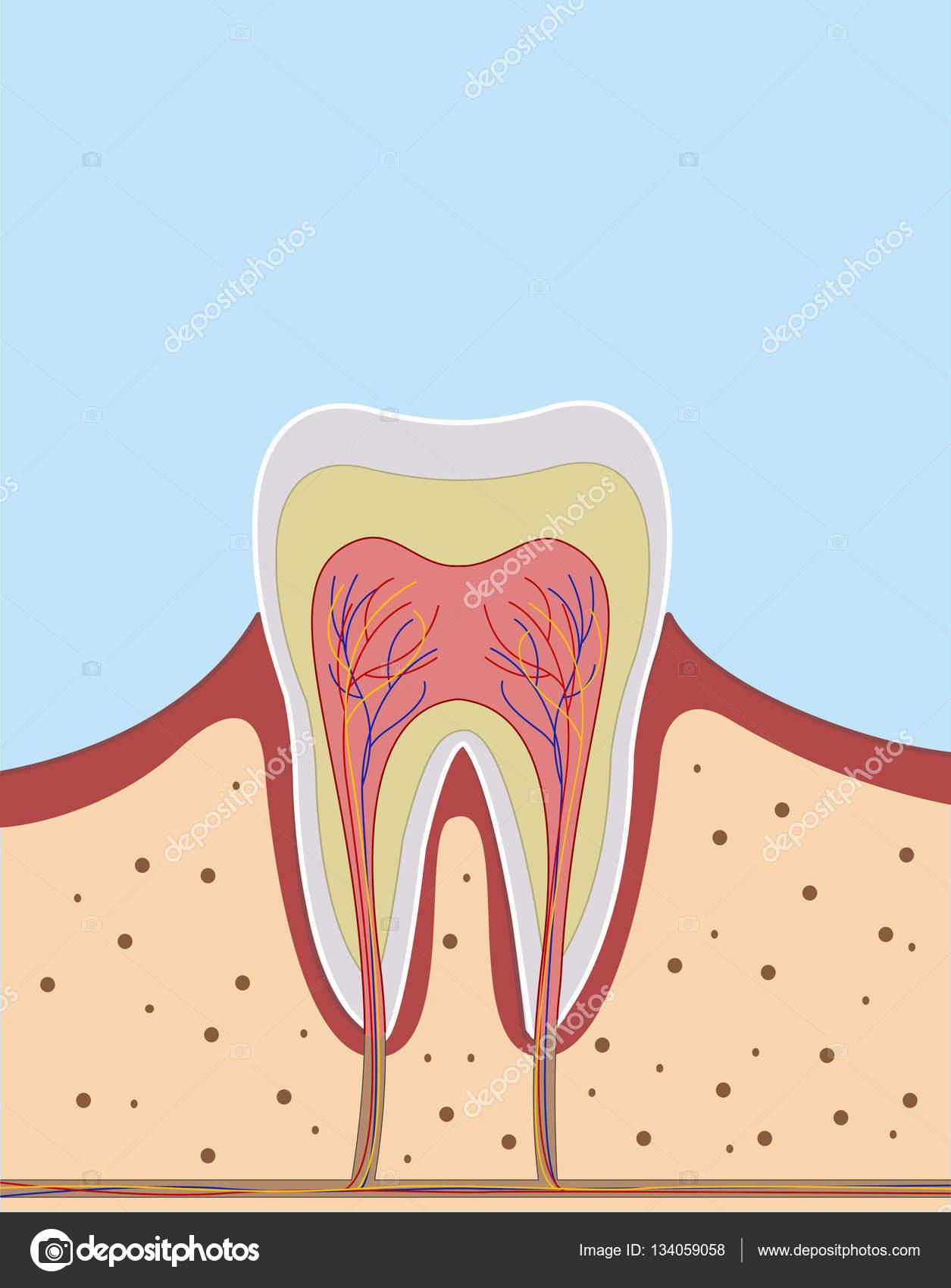 Innen auf einem einzigen Zahn-illustration — Stockvektor © Rimis164 ...