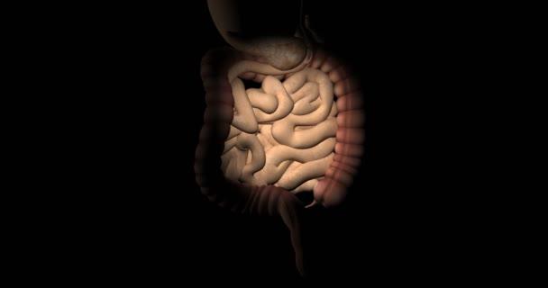 Tlustého a tenkého střeva obratu lidského těla
