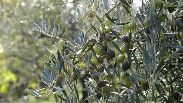Super Oliven Früchte Hängen Einem Zweig Der Olivenbaum Einen Sonnigen &PK_49