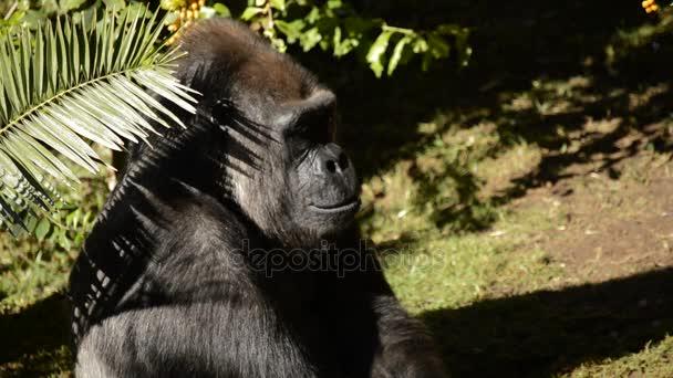 Gorilla sunbathing - Western lowland gorilla