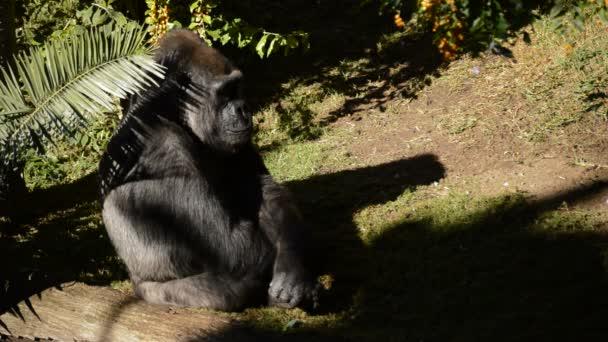 Gorilla sunbathing in a natural park - Western lowland gorilla