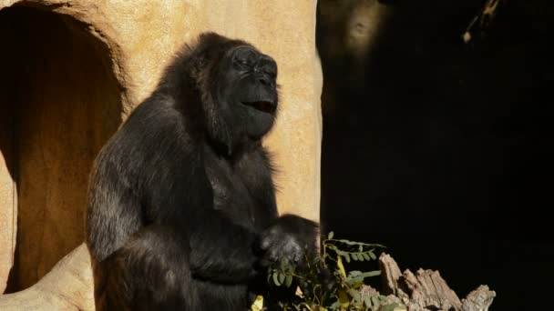 Gorilla eating leaves - Western lowland gorilla