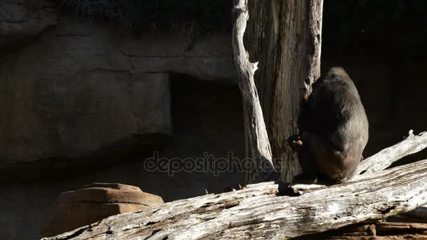 Gorilla eating fruit in a trunk tree - Western lowland gorilla