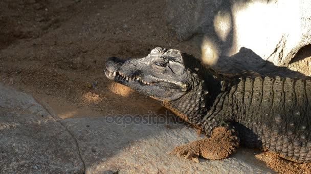Trpaslík, Krokodýlí opalování, otevřel její oko - Osteolaemus tetraspis