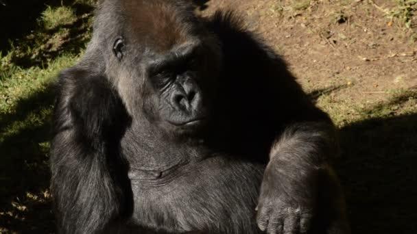 Gorilla looking around in a natural park - Western lowland gorilla