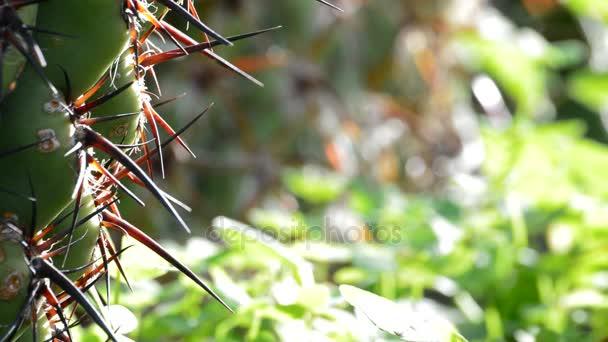 A tüskék, kaktusz növény