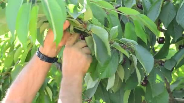 Hands of farmer harvesting fresh cherries hanging in a branch of a cherry tree