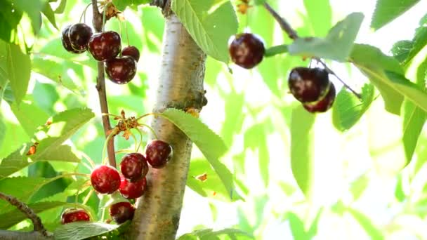 Natural cherries fruit hanging in a cherry tree