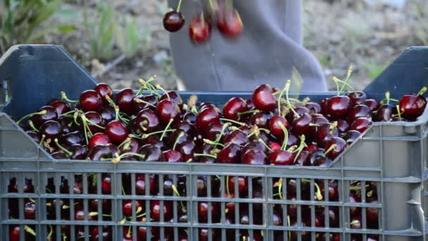 Placing freshly picked cherries in a box, harvest of natural cherry fruit