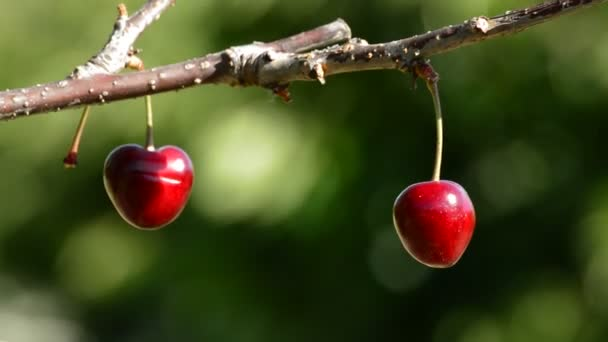 Two cherries hanging at branch a sunny day