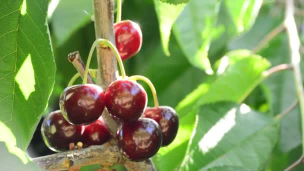 Bunch of fresh natural cherries, fruit food, hanging in branch of tree