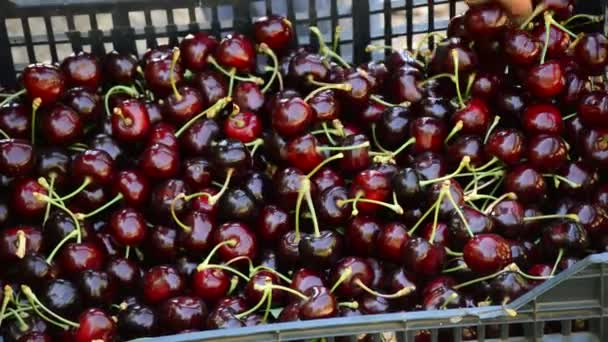 Hand of peasant moving cherries just harvested in a box