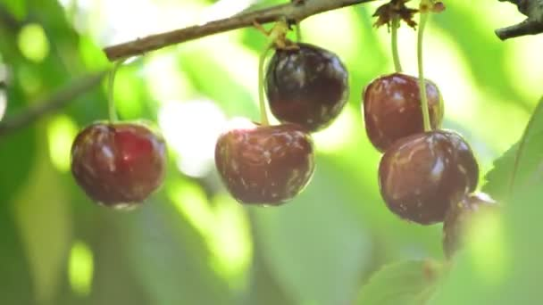 Cherries hanging in a branch of a cherry tree