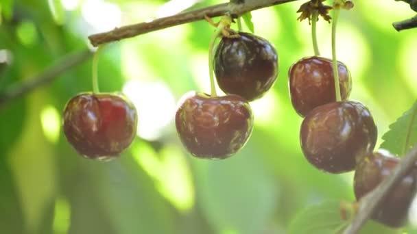 Fresh cherries, fruit food, hanging in branch of tree