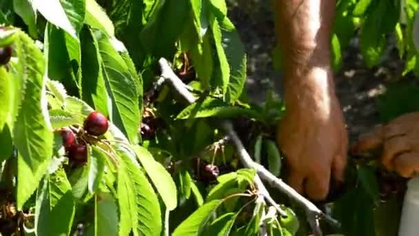 Harvest of cherry, Hands of farmer picking fresh cherries hanging in a branch of a cherry tree